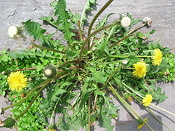 A picture of dandelion weeds. photo by aaron13251 on Flickr
