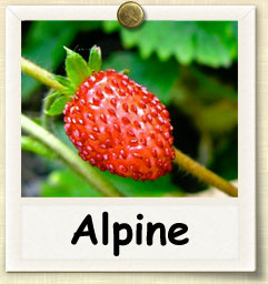 How to Grow Alpine Strawberry | Guide to Growing Alpine Strawberry