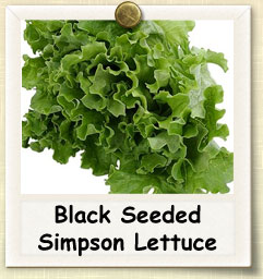 How to Grow Black Seeded Lettuce | Guide to Growing Black Seeded Lettuce