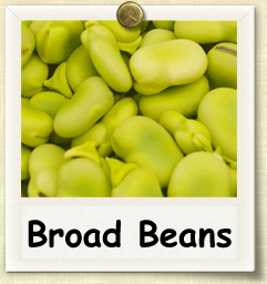How to Grow Broad Beans | Guide to Growing Broad Beans