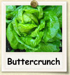 How to Grow Buttercrunch Lettuce | Guide to Growing Buttercrunch Lettuce