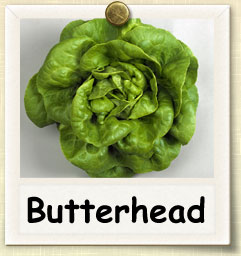 How to Grow Butterhead Lettuce | Guide to Growing Butterhead Lettuce
