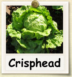 How to Grow Crisphead Lettuce | Guide to Growing Crisphead Lettuce
