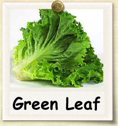 How to Grow Green Leaf Lettuce | Guide to Growing Green Leaf Lettuce