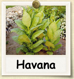 How to Grow Cuban Havana Tobacco | Guide to Growing Cuban Havana Tobacco