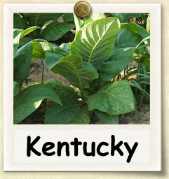 How to Grow Kentucky Tobacco | Guide to Growing Kentucky Tobacco