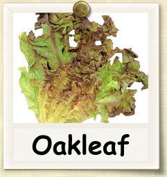 How to Grow Oakleaf Lettuce | Guide to Growing Oakleaf Lettuce