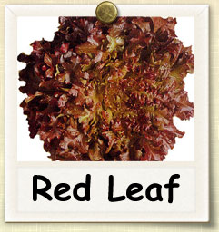 How to Grow Red Leaf Lettuce | Guide to Growing Red Leaf Lettuce