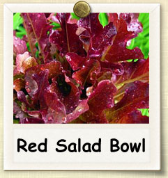 How to Grow Red Salad Bowl Lettuce | Guide to Growing Red Salad Bowl Lettuce