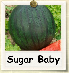 How to Grow Sugar Baby Watermelon | Guide to Growing Sugar Baby Watermelon