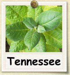 How to Grow Tennessee Burley Tobacco | Guide to Growing Tennessee Burley Tobacco