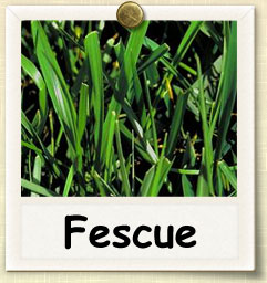 How to Grow Forage Tall Fescue | Guide to Growing Forage Tall Fescue