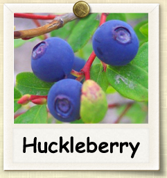 How to Grow Huckleberry | Guide to Growing Huckleberries
