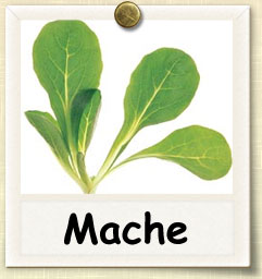 How to Grow Mache | Guide to Growing Mache