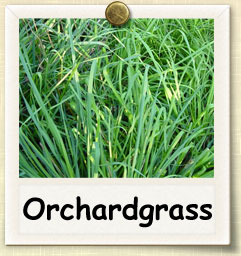 How to Grow Orchard Grass | Guide to Growing Orchard Grass