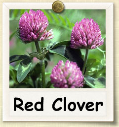 How to Grow Red Clover | Guide to Growing Red Clover