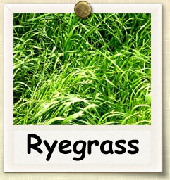 How to Grow Ryegrass | Guide to Growing Ryegrass