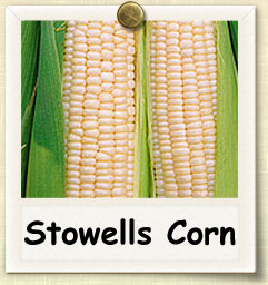 How to Grow Stowells Corn  | Guide to Growing Stowells Corn