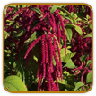 Organic Amaranth Seed | Seeds of Life