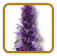 How to Grow Anise Hyssop | Guide to Growing Anise Hyssop