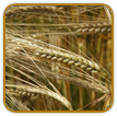 Organic Barley Seed | Seeds of Life