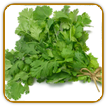 Organic Cilantro Seed | Seeds of Life