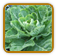 Heirloom Collard Seed | Seeds of Life
