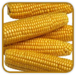 Organic Corn Seed | Seeds of Life