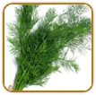Organic Dill Seed | Seeds of Life