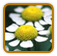 How to Grow Feverfew | Guide to Growing Feverfew