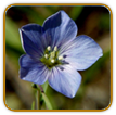 Heirloom Flax Seed | Seeds of Life