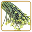 Organic Garlic Chive Seed | Seeds of Life