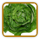 Heirloom Lettuce Seed | Seeds of Life