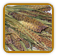 Heirloom Millet Seed | Seeds of Life