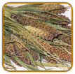 How to Grow Millet | Guide to Growing Millet