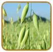 Organic Oat Seed | Seeds of Life