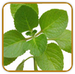 Organic Oregano Seed | Seeds of Life