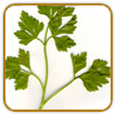 Organic Parsley Seed | Seeds of Life