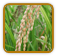 Heirloom Rice Seed | Seeds of Life