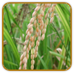 Organic Rice Seed | Seeds of Life