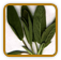Heirloom Sage Seed | Seeds of Life