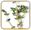 Organic Thyme Seed | Seeds of Life