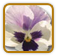 How to Grow Violet | Guide to Growing Violet