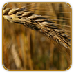 Organic Wheat Seed | Seeds of Life